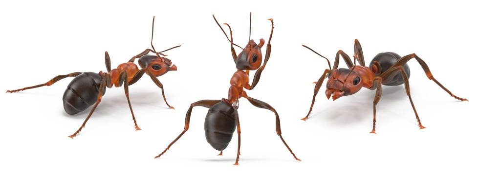 Ant 3D Model Poses