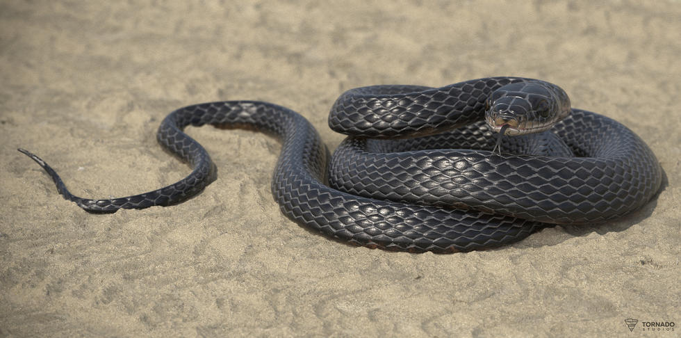 Black Snake Beauty Shot