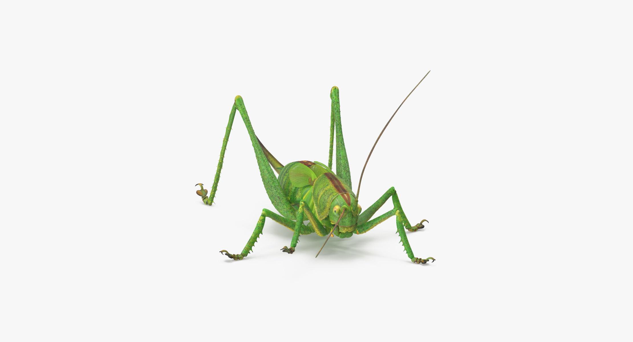 Grasshopper Standing - reel 1
