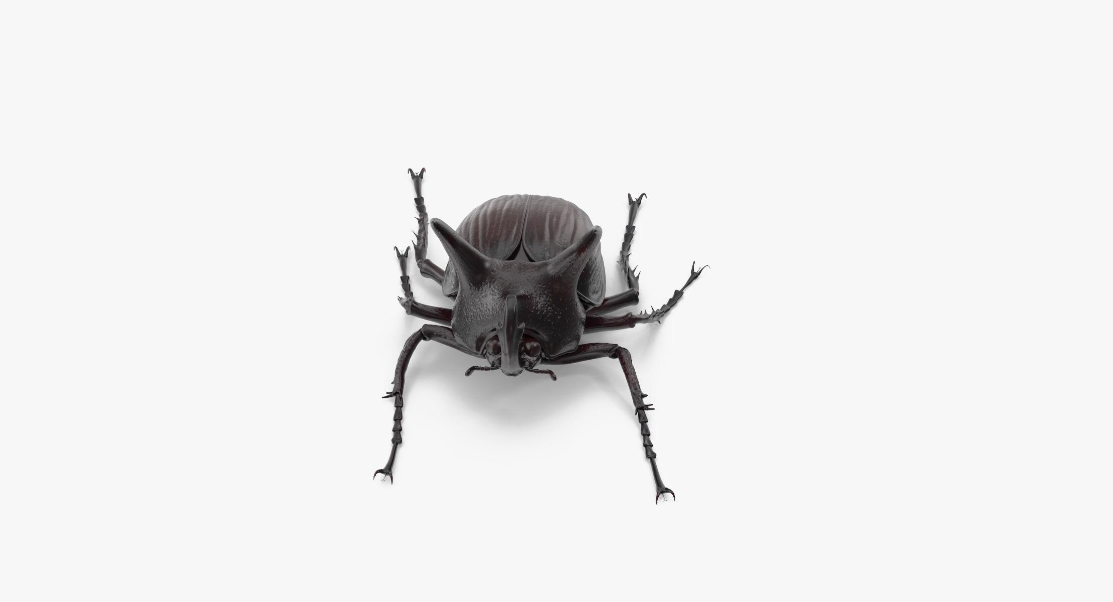 Rhinoceros Beetle Pose 02 - reel 1
