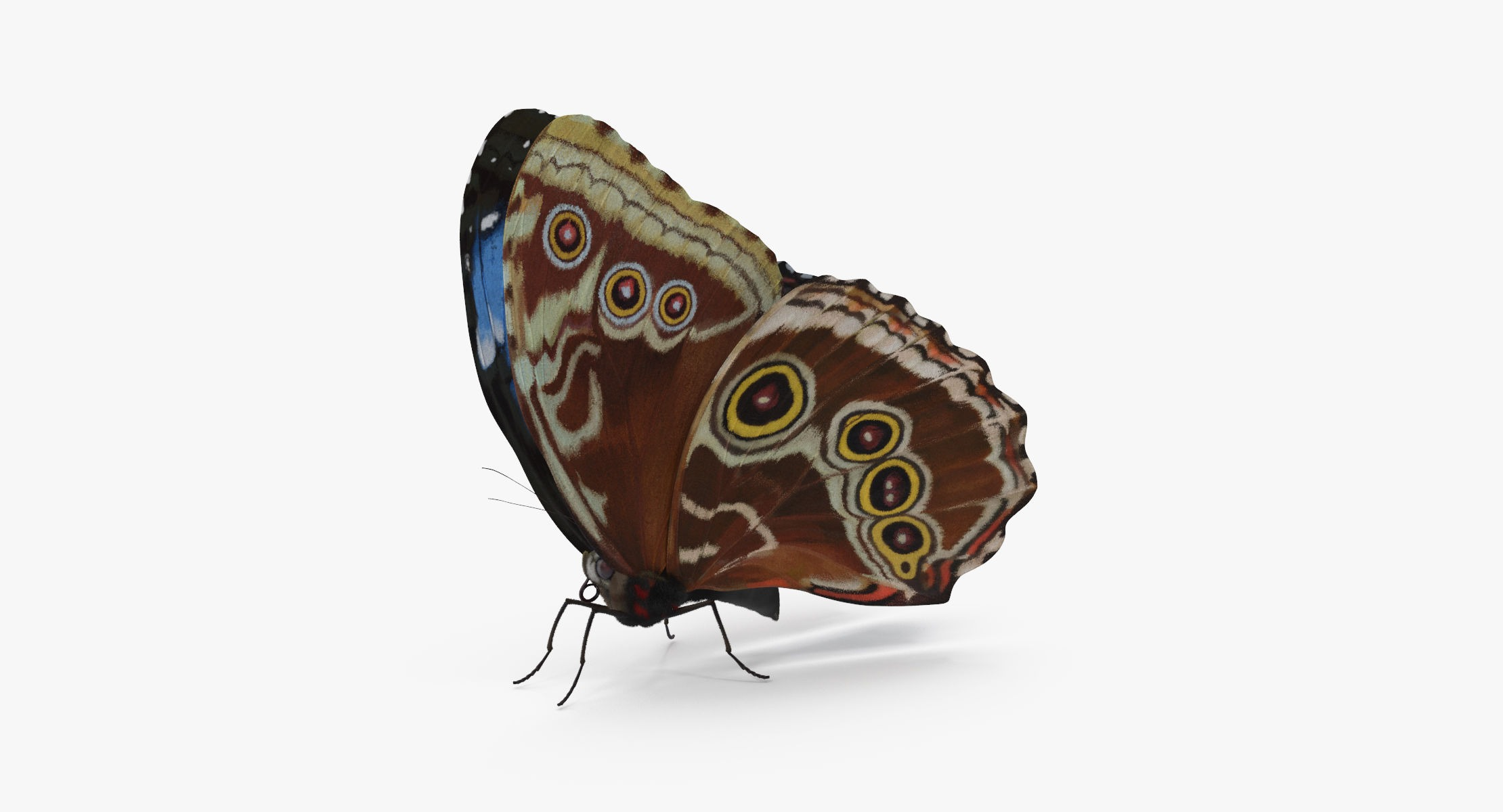 Blue Morpho Butterfly Wings Closed - reel 1