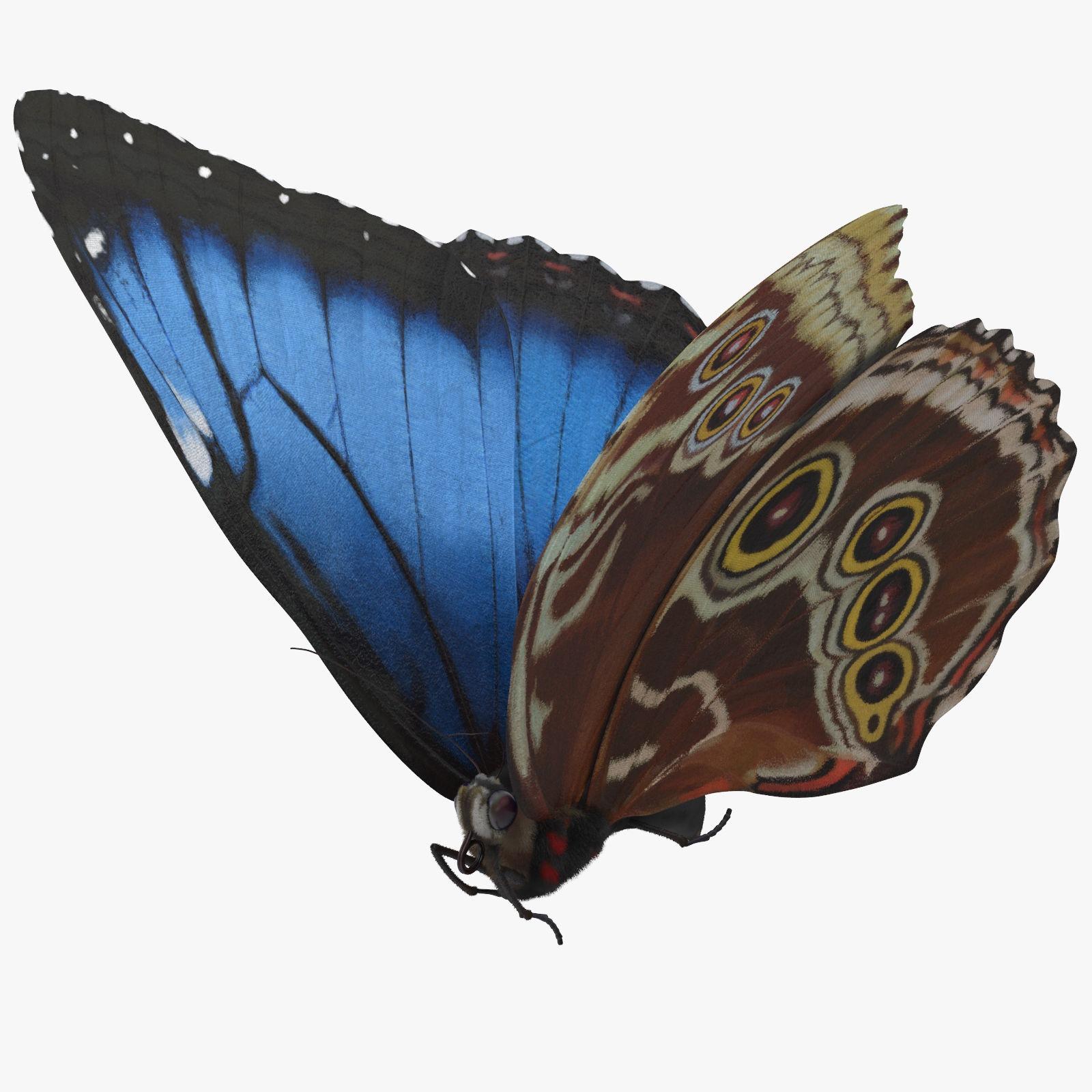 Blue Morpho Butterfly Flying Pose 01