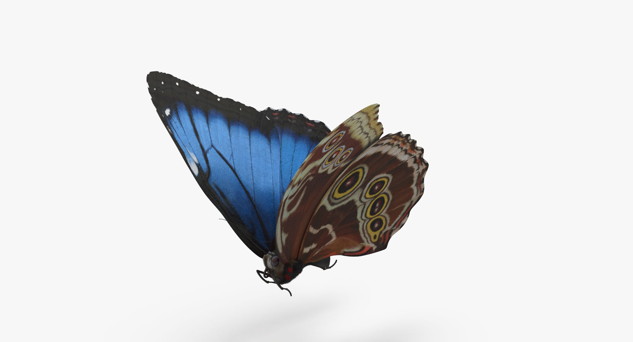 Blue Morpho Butterfly Flying Pose 01 - reel 1