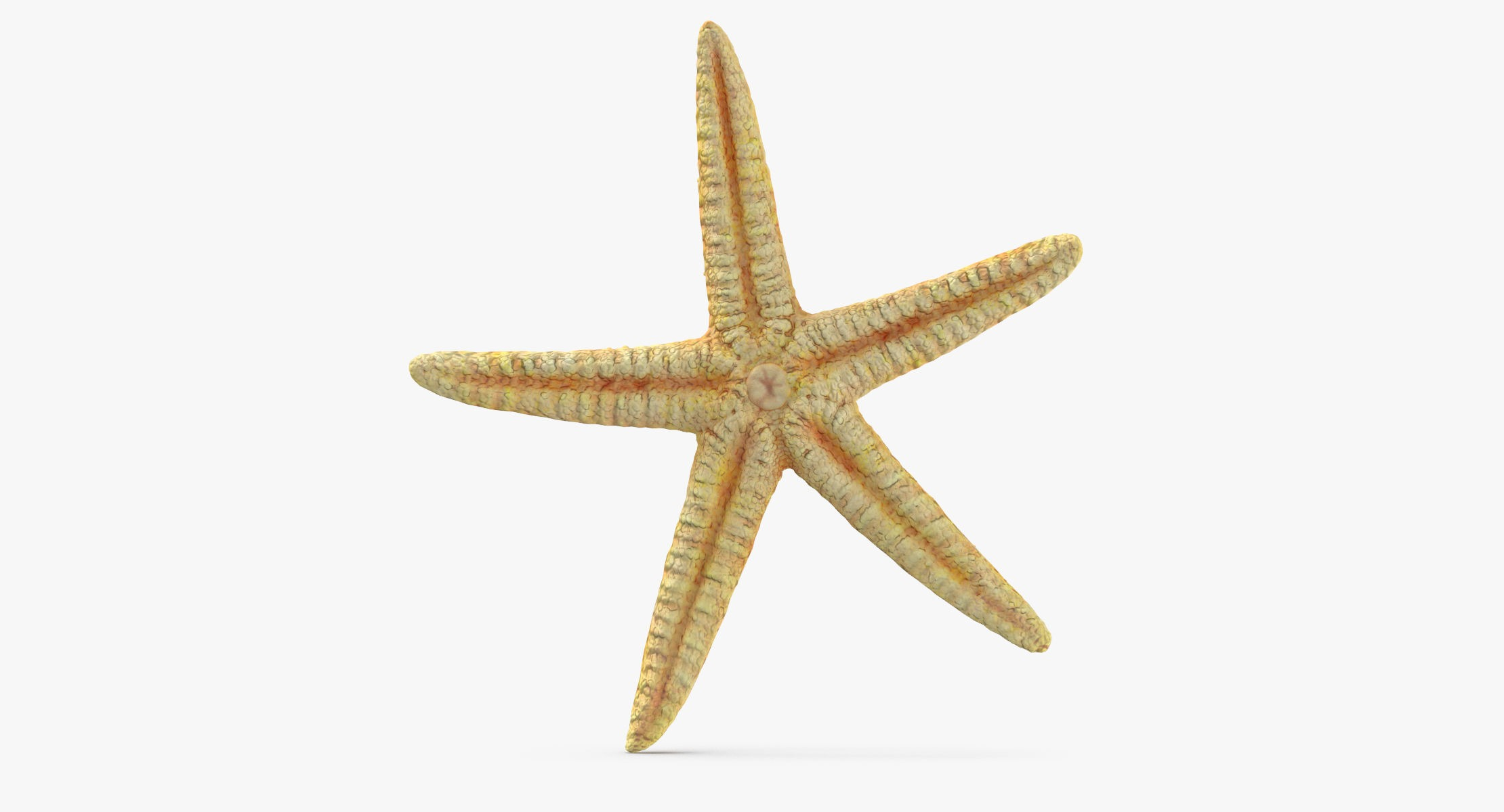 Dried Flat Starfish - reel 1