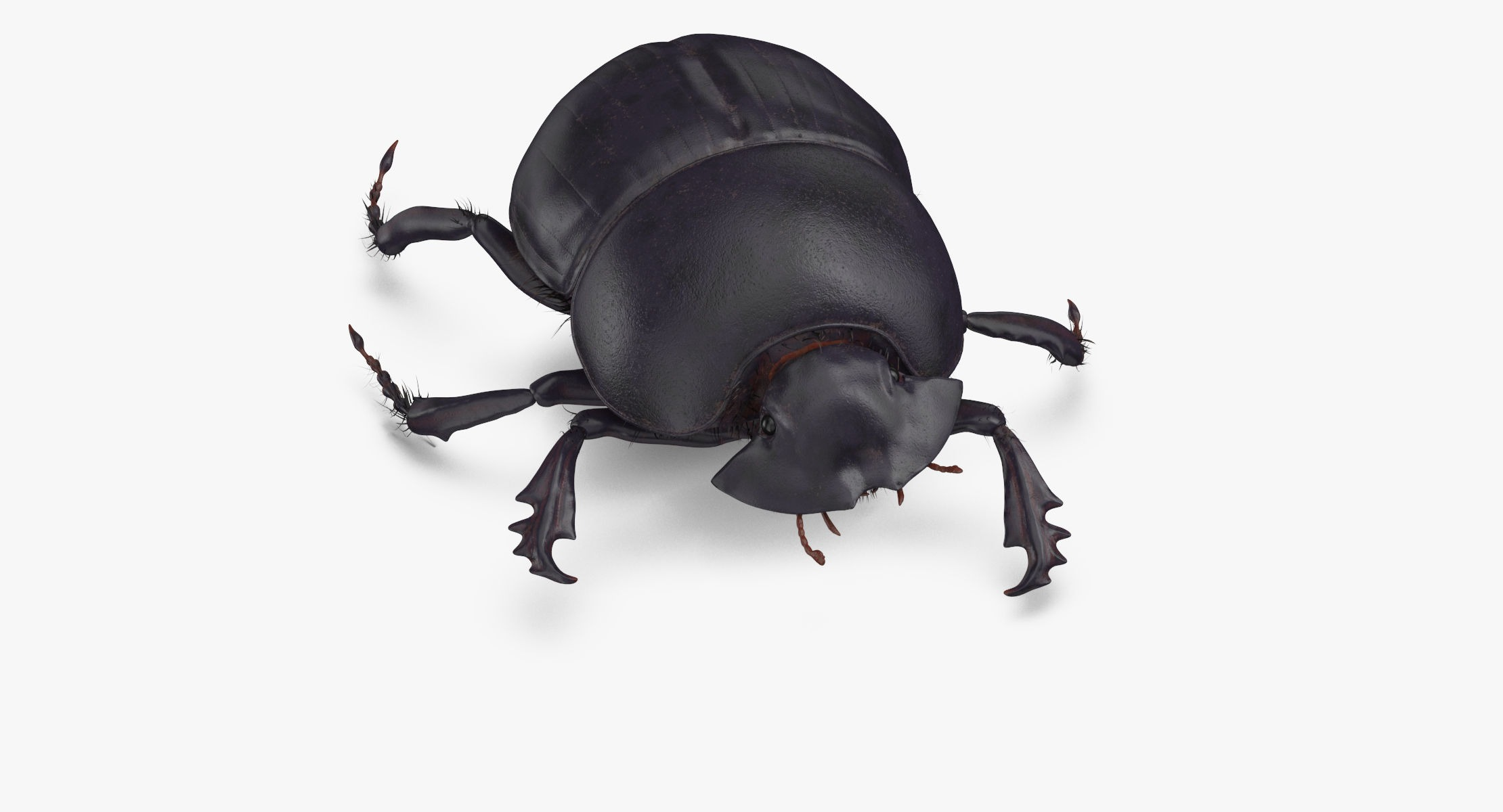 Black Scarab Beetle Walking 02 - reel 1