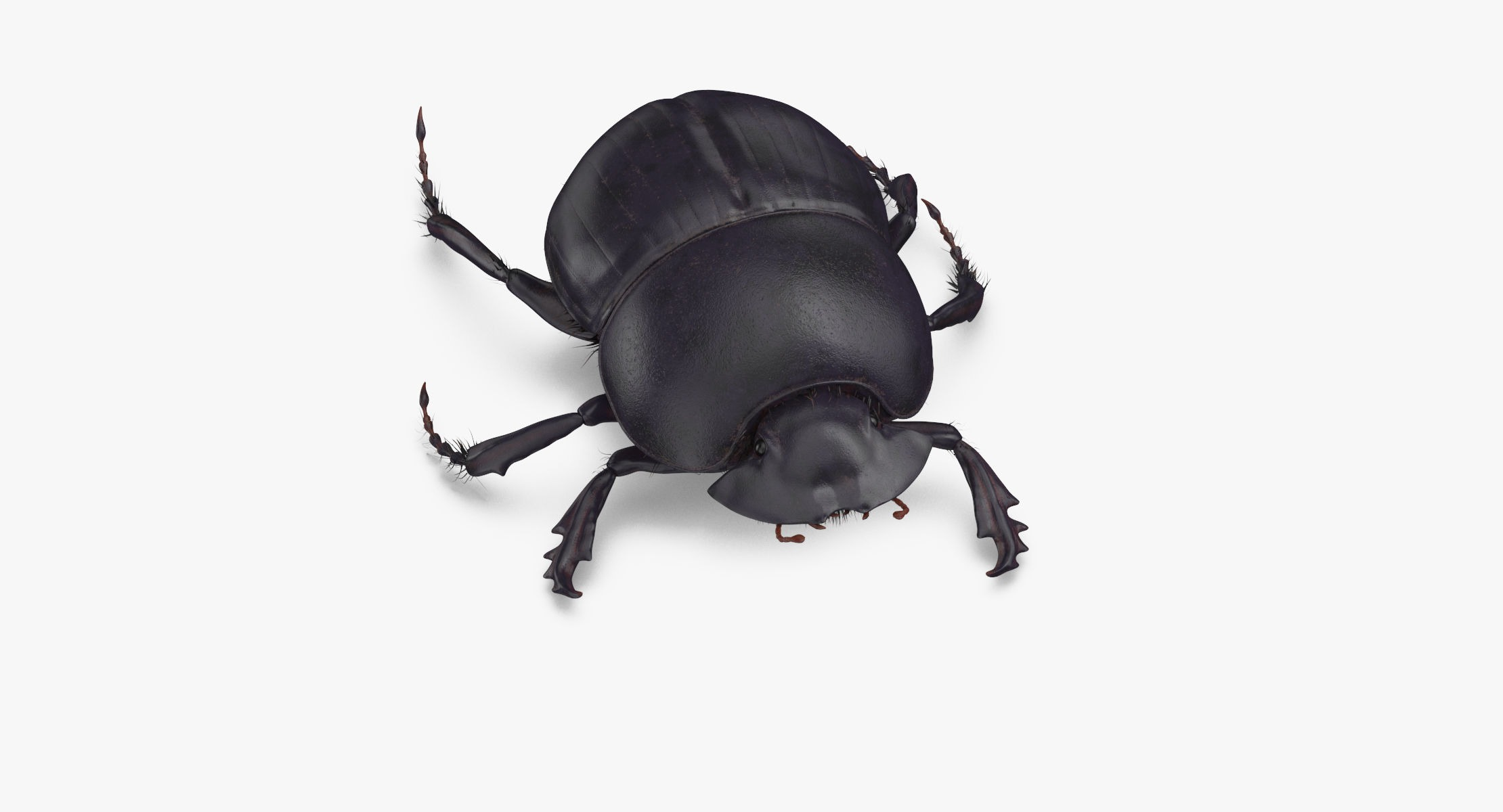Black Scarab Beetle Walking 01 - reel 1