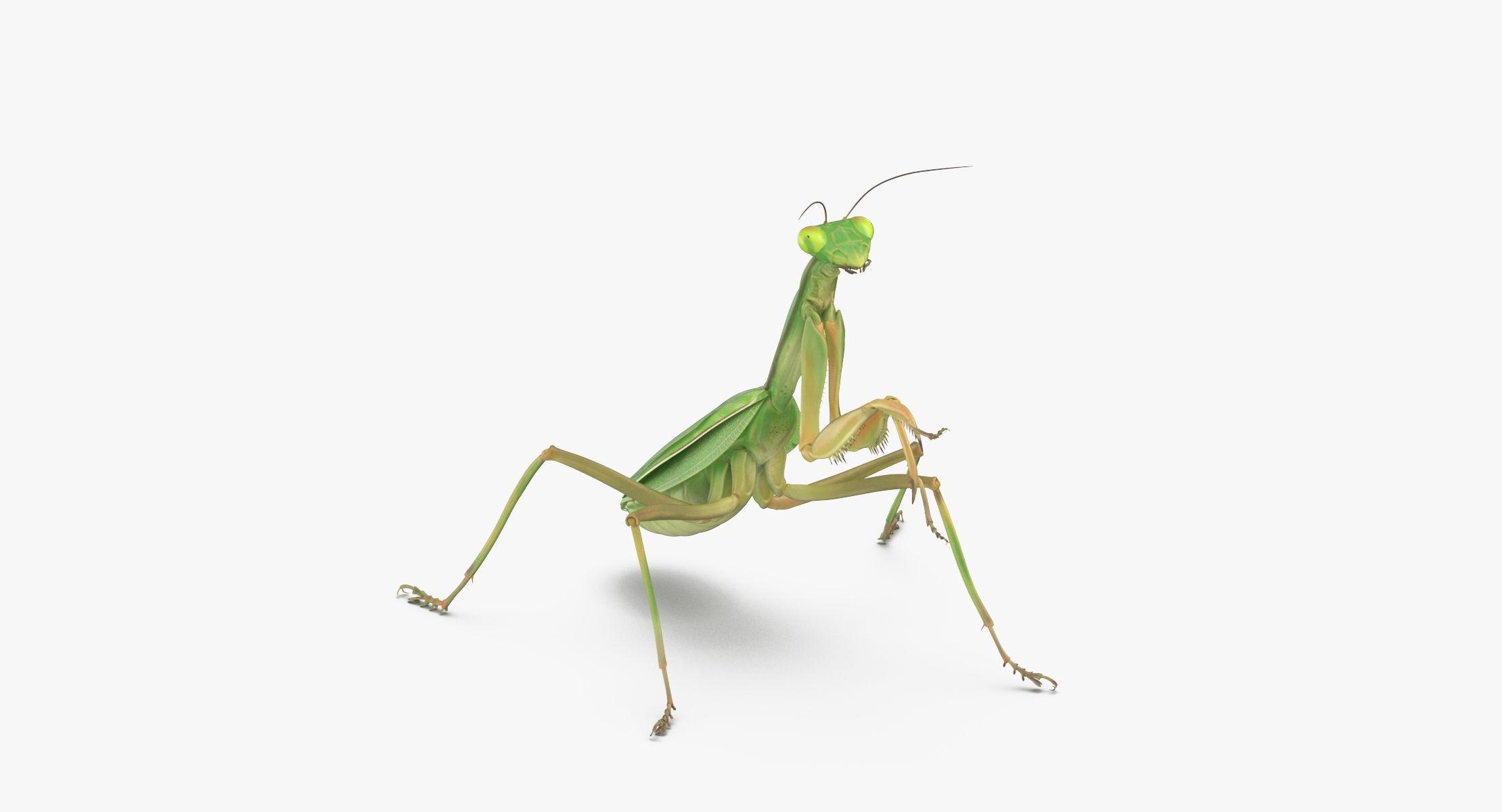 Praying Mantis Standing - reel 1