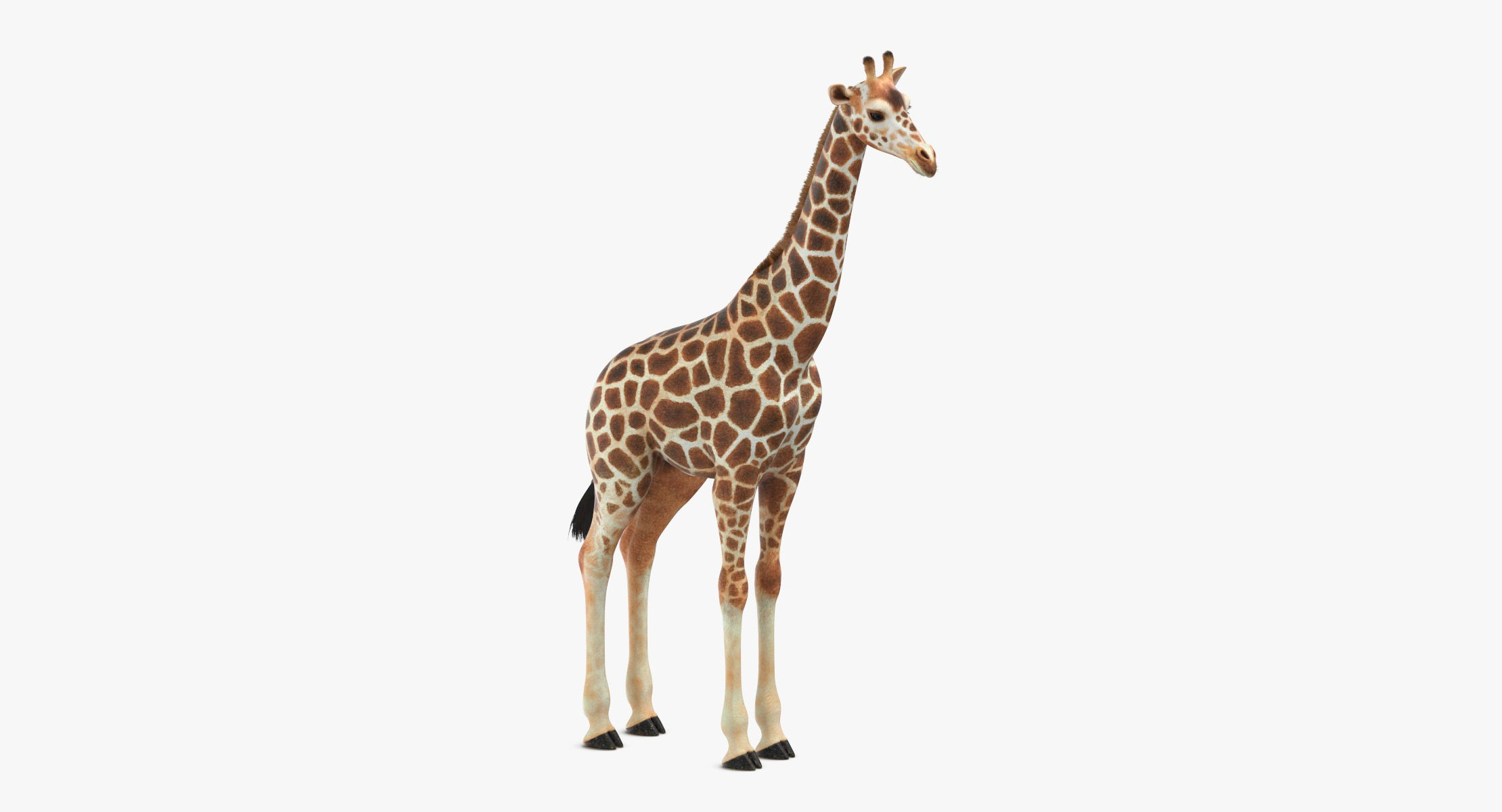 Giraffe - reel 1