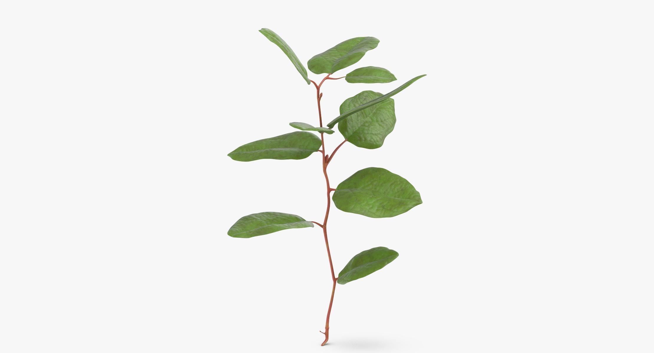 Gaultheria Shallon - reel 1