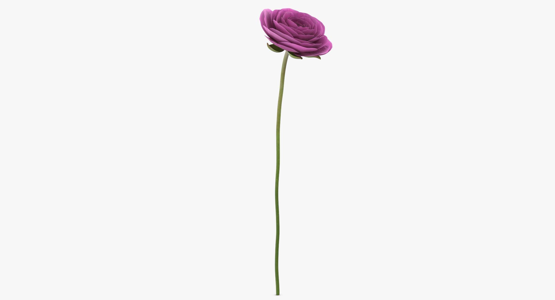 Ranunculus Asiaticus - Pink - reel 1
