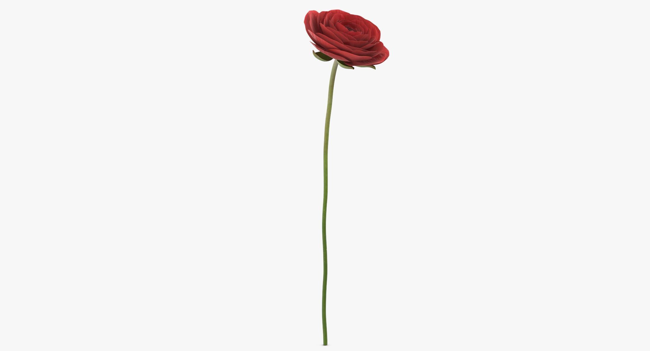 Ranunculus Asiaticus - Red 3D - reel 1