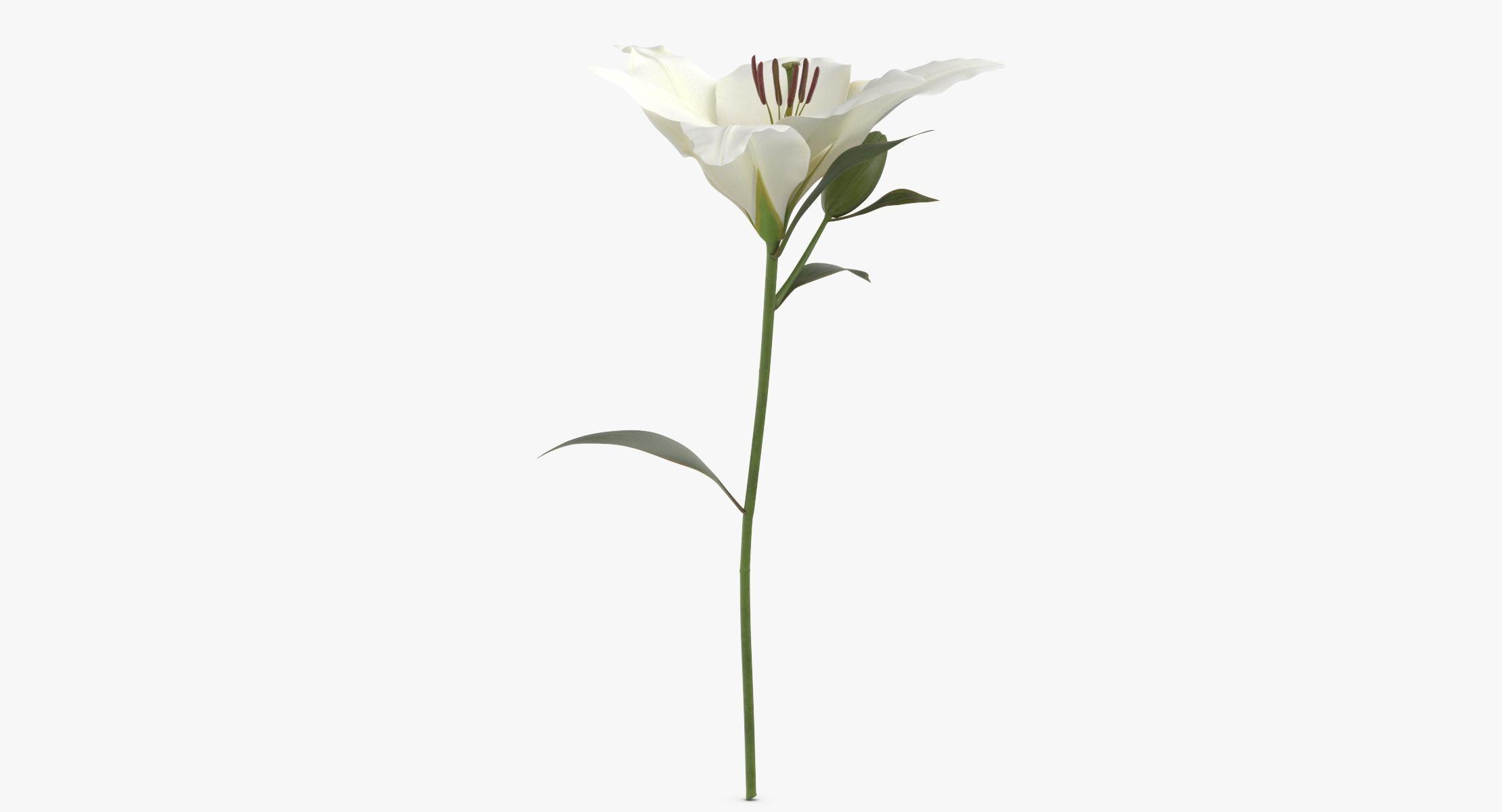 Lilium - White - reel 1