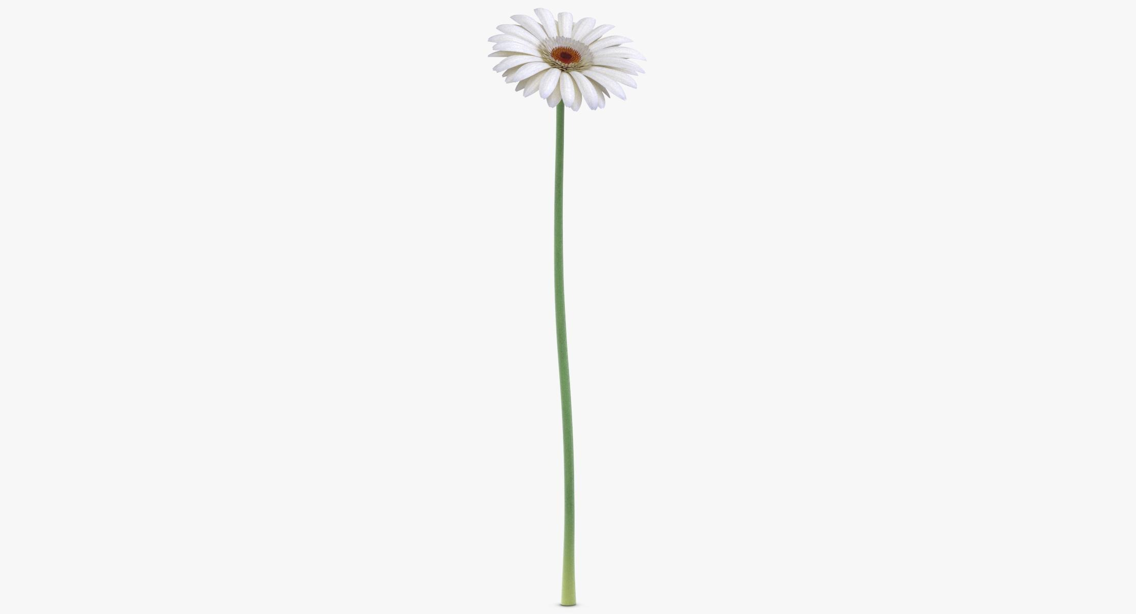 Gerbera - White - reel 1