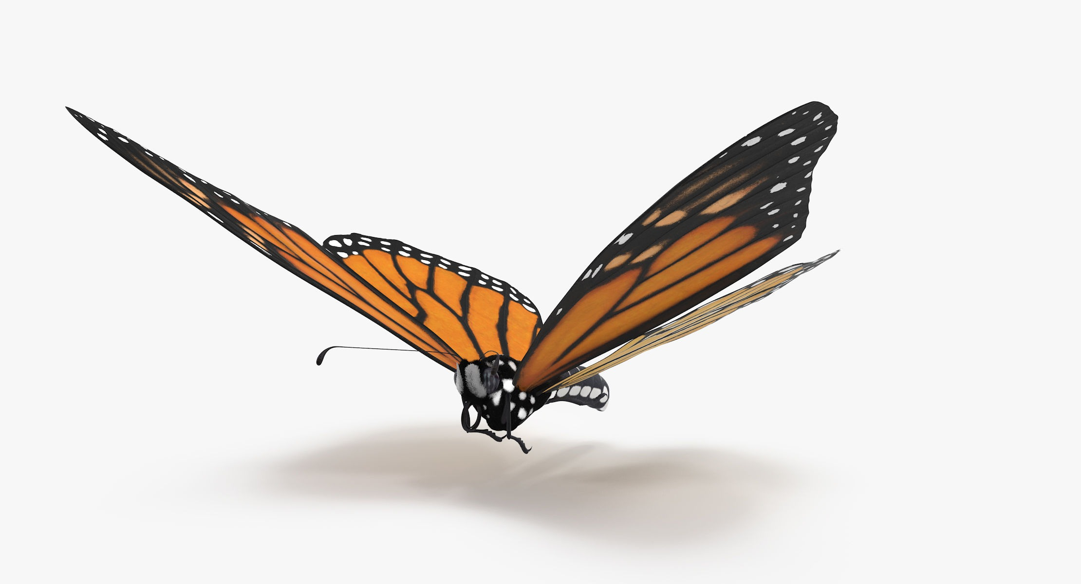 Monarch Butterfly Flying 02 - reel 1