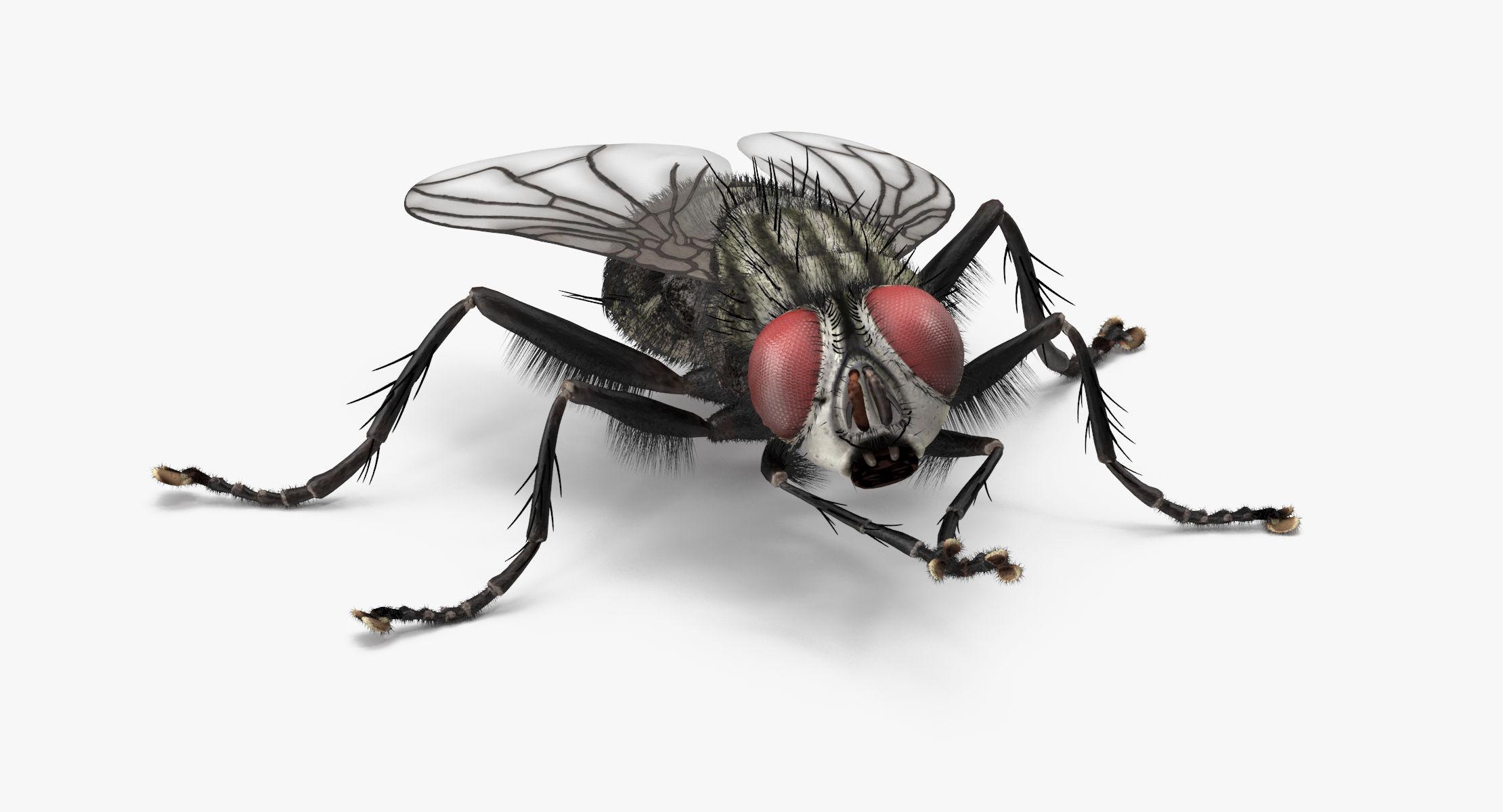 House Fly Rubbing legs - reel 1