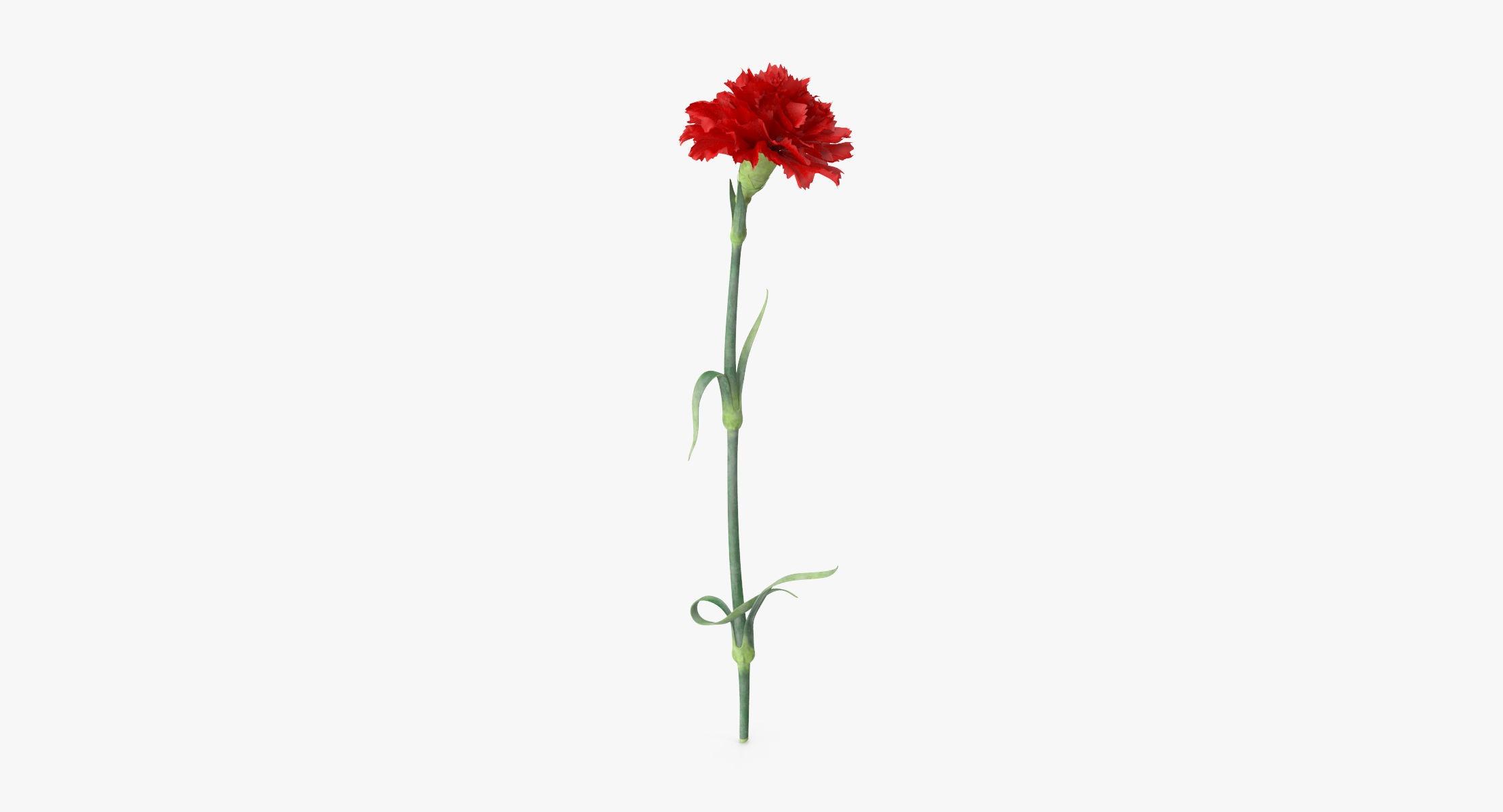 Carnation - Single Standing - reel 1