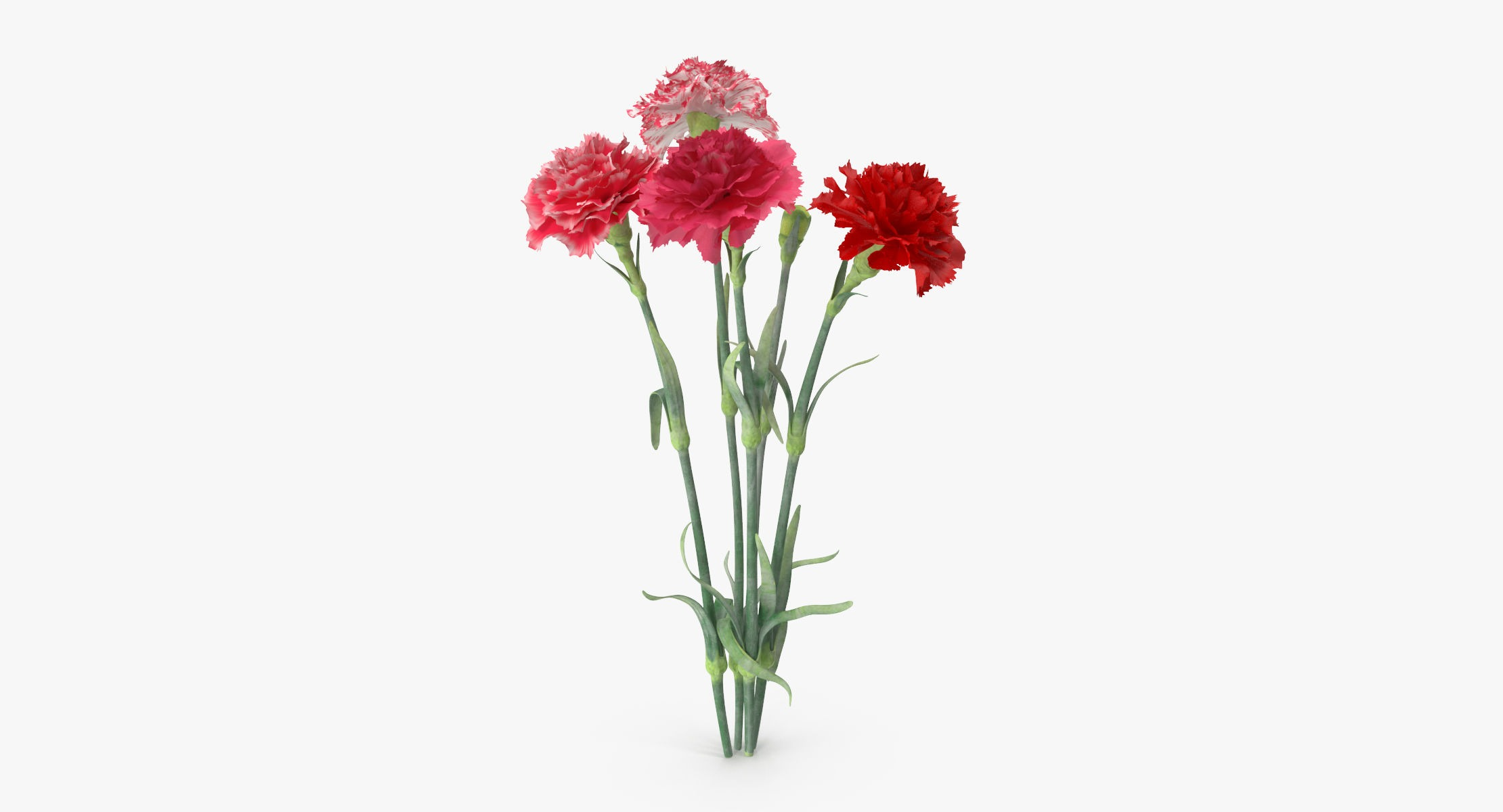 Carnation - Bouquet - reel 1