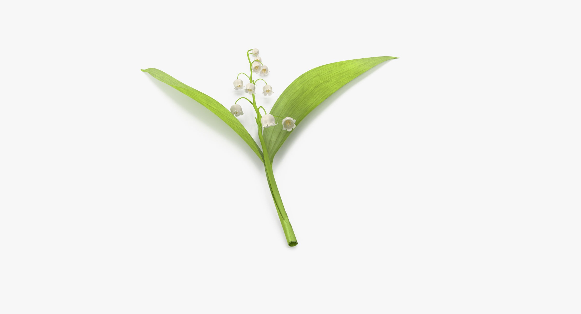 Lily of the Valley - Single Laying - reel 1