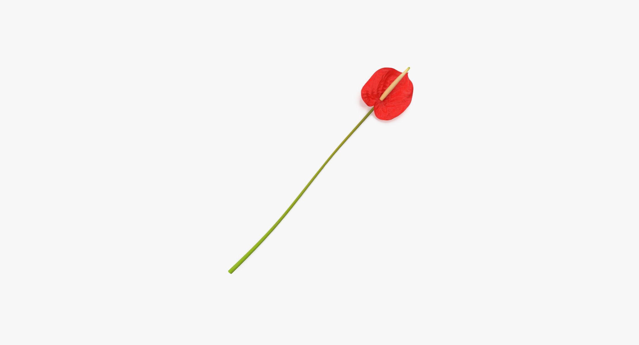 Anthurium - Single Laying - reel 1