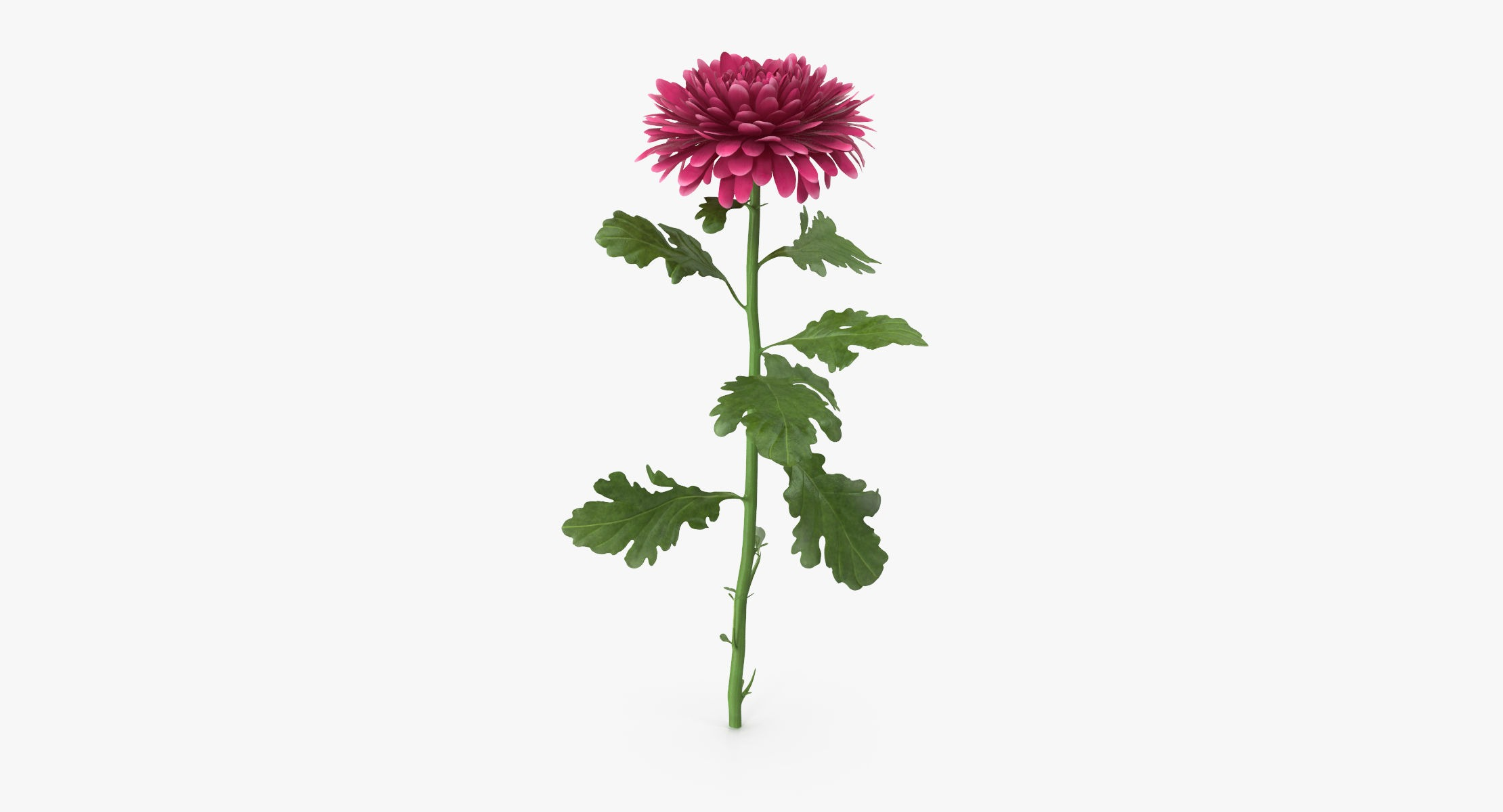 Chrysanthemum Pink - Single Standing - reel 1