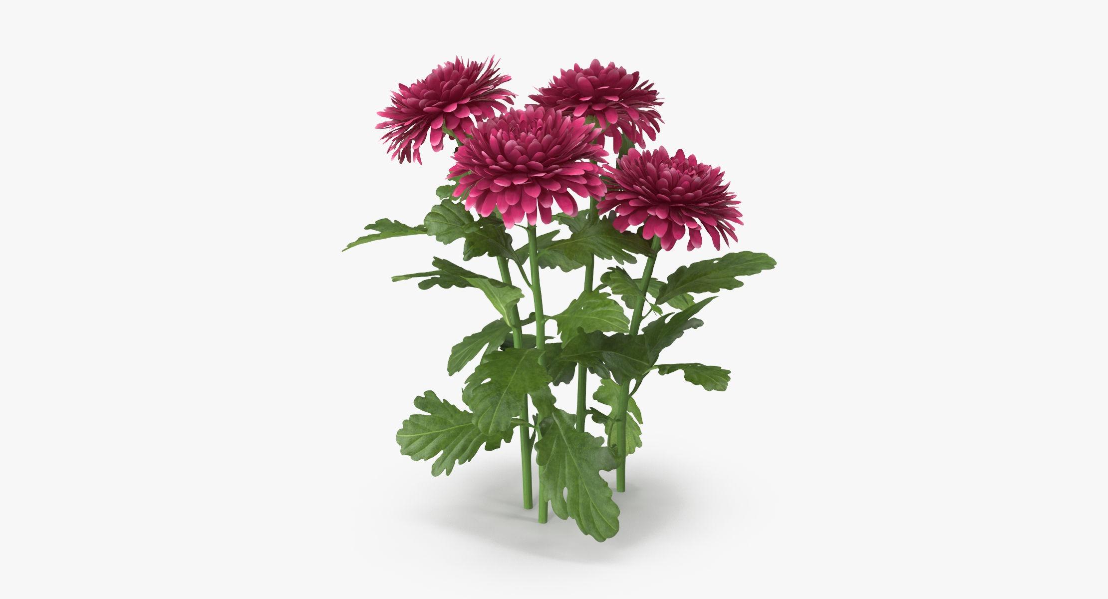 Chrysanthemum Pink - Natural Group - reel 1