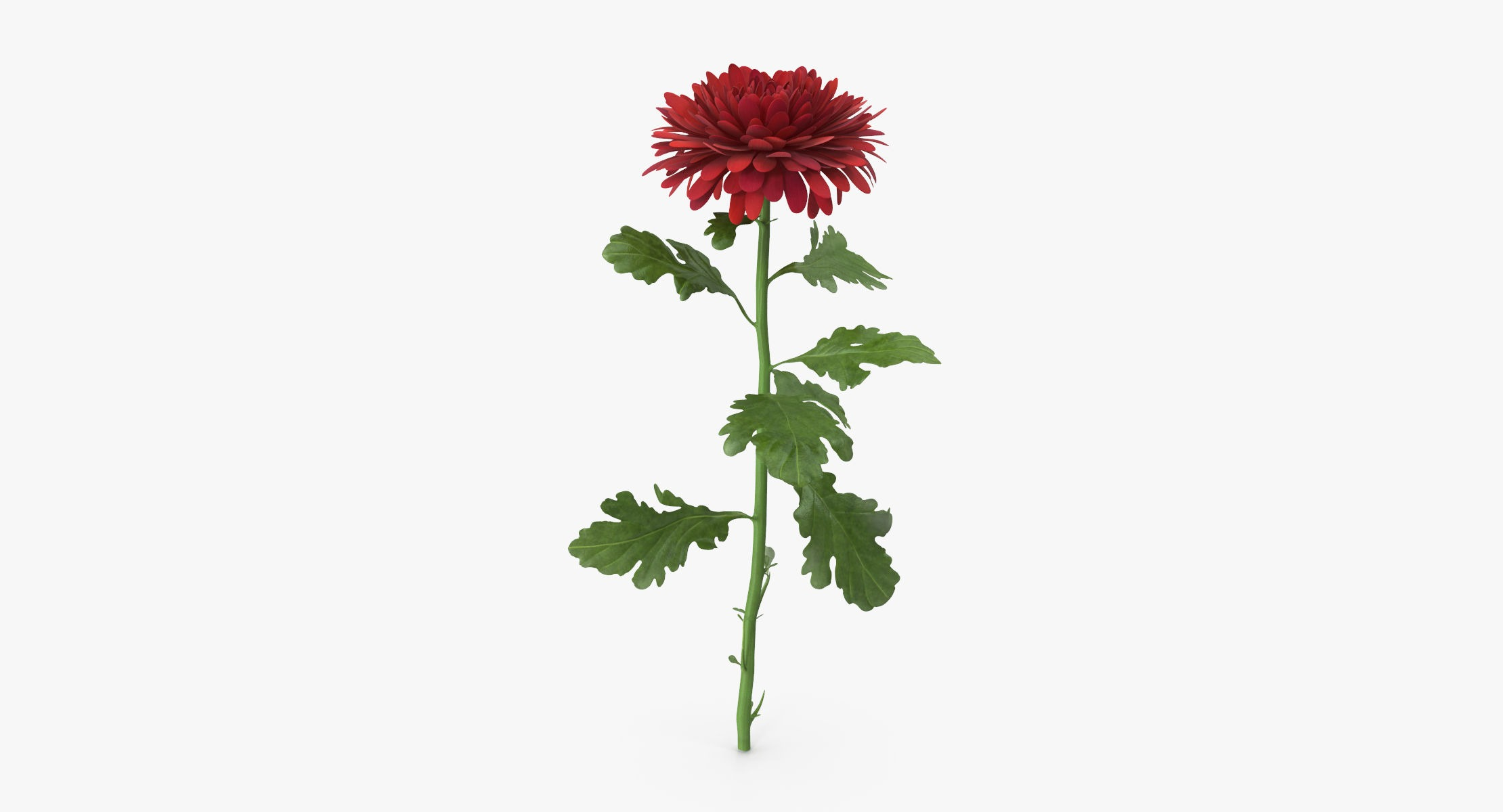 Chrysanthemum Red - Single Standing - reel 1