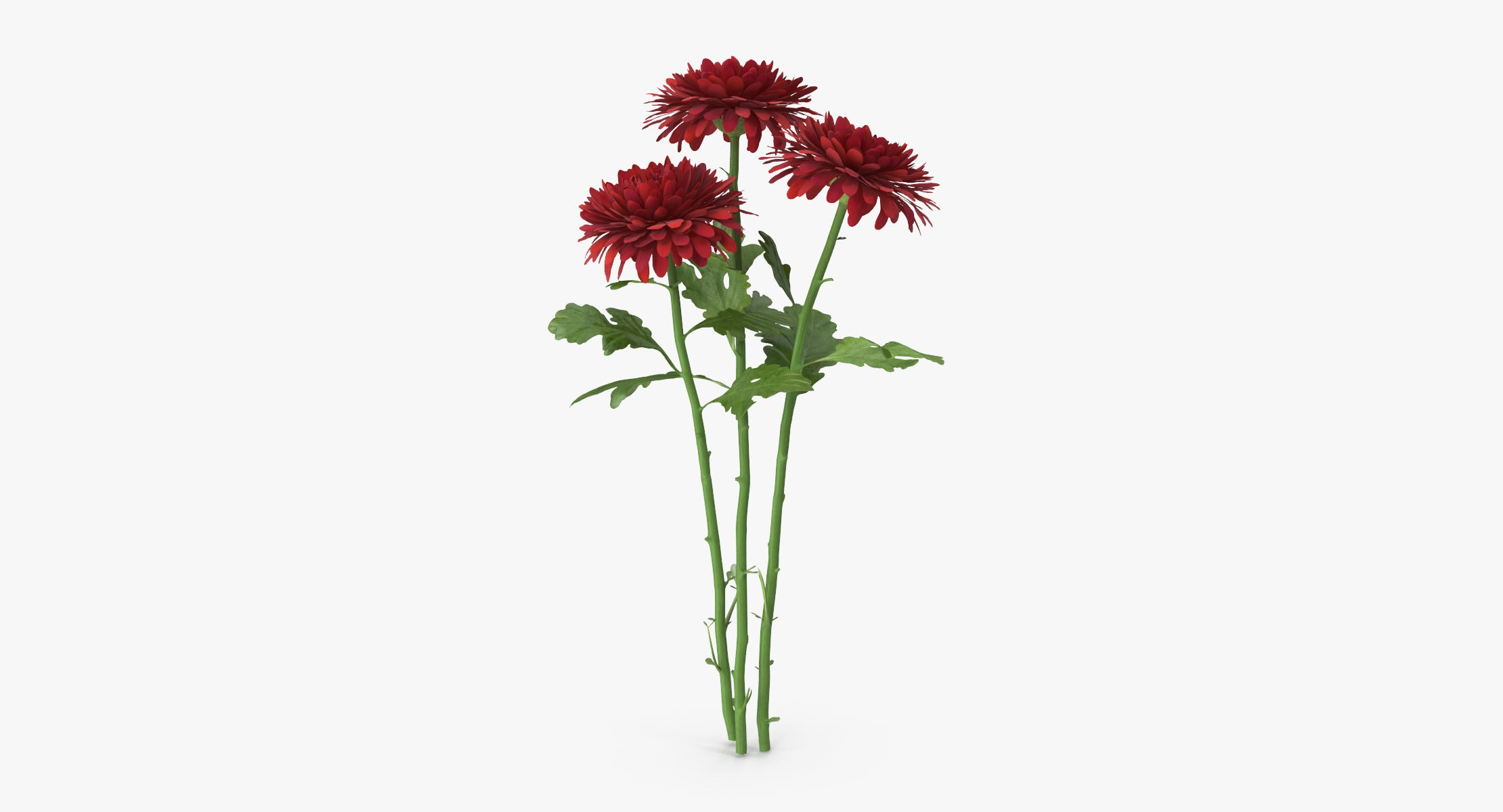 Chrysanthemum Red - Bouquet - reel 1