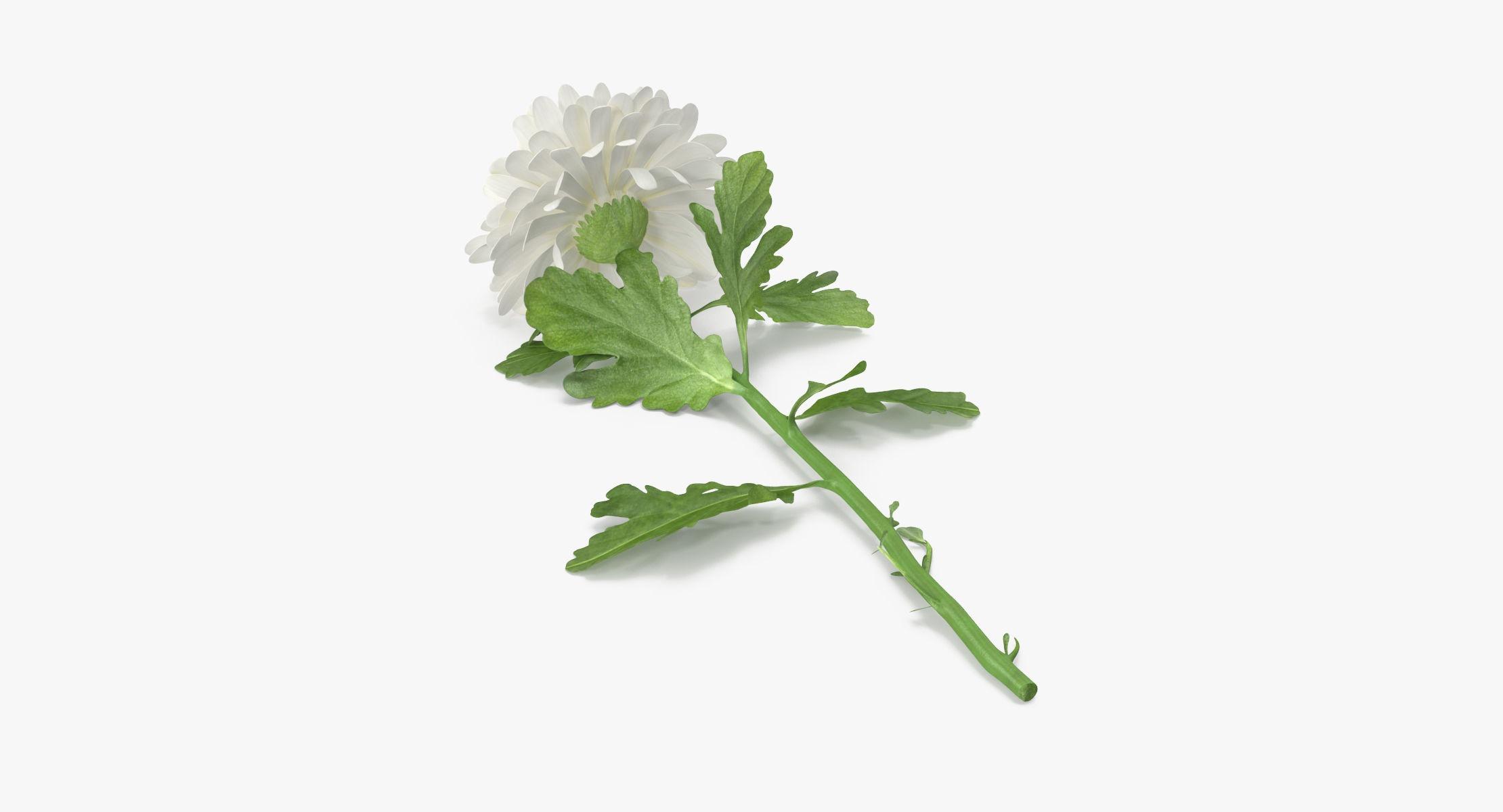 Chrysanthemum White - Single Laying - reel 1