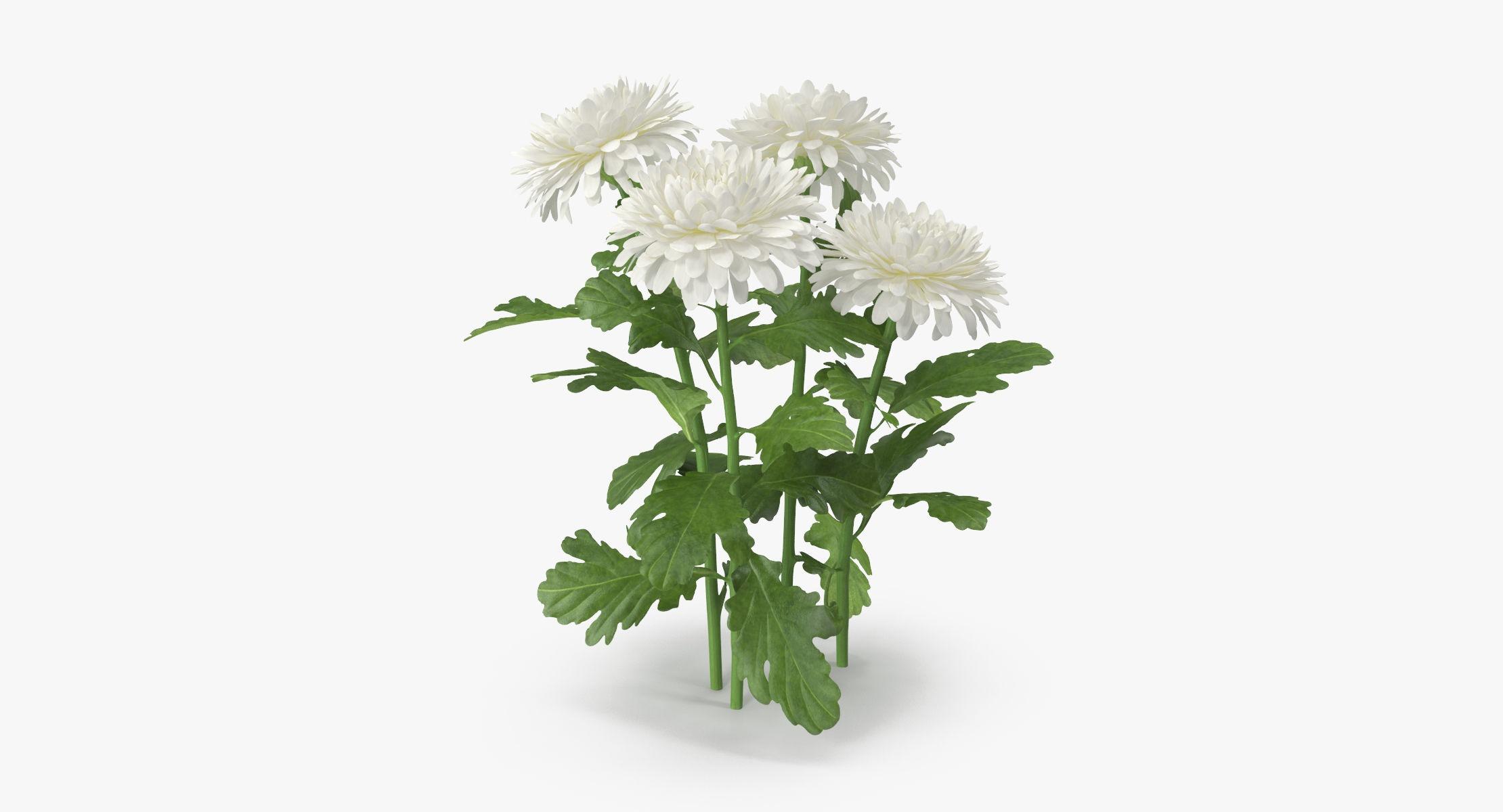 Chrysanthemum White - Natural Group - reel 1