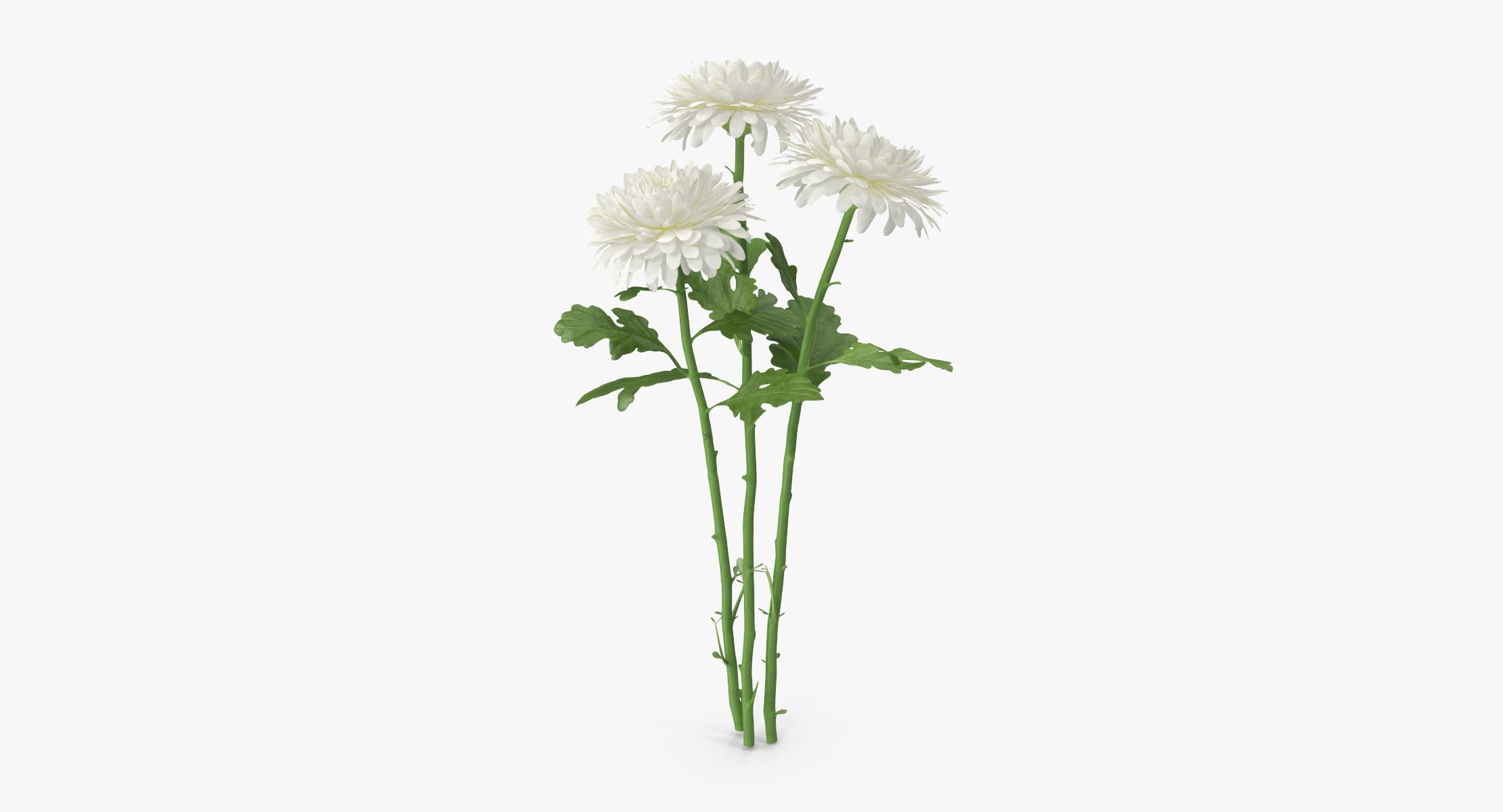 Chrysanthemum White - Bouquet - reel 1
