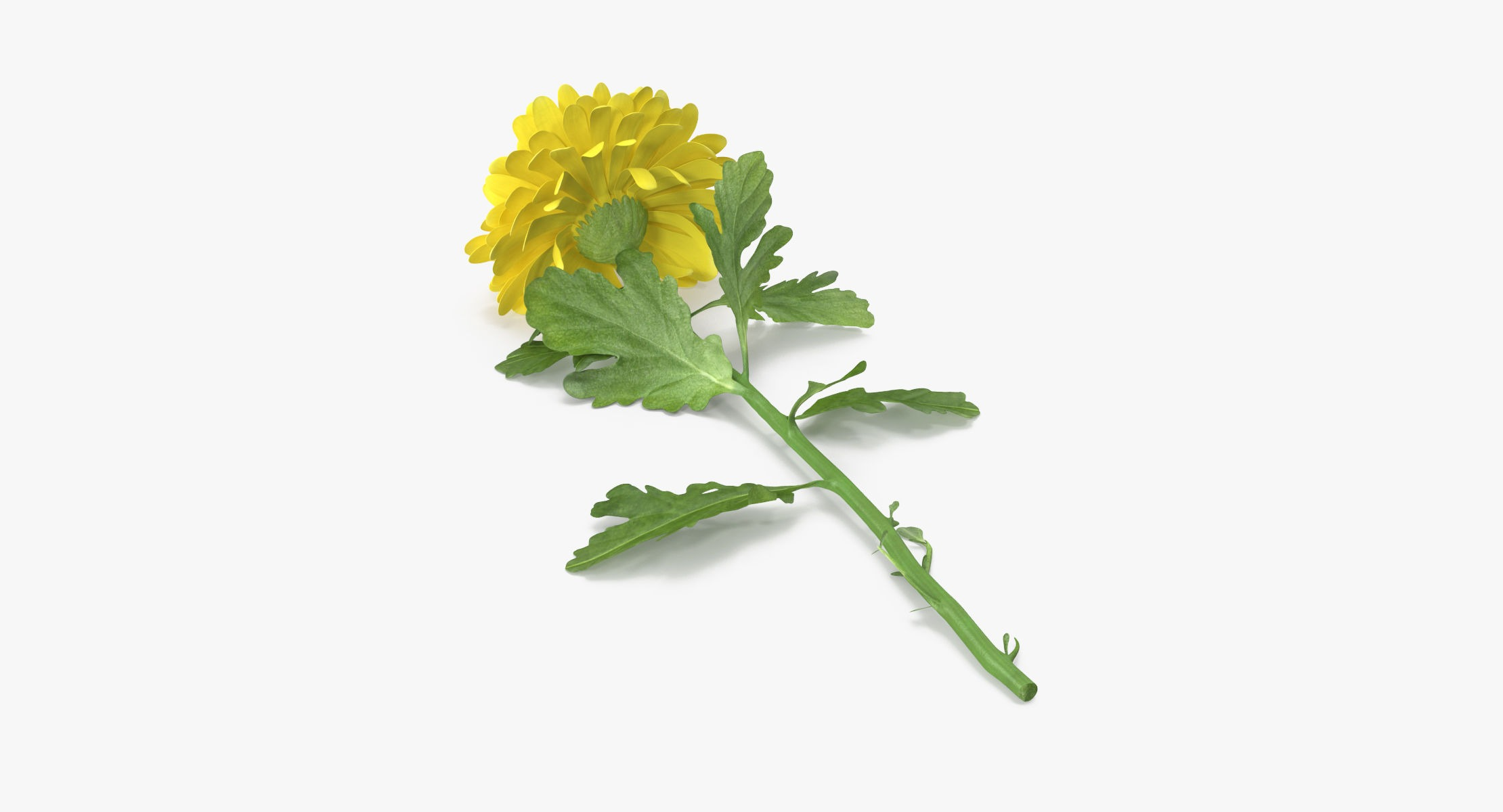 Chrysanthemum Yellow - Single Laying - reel 1