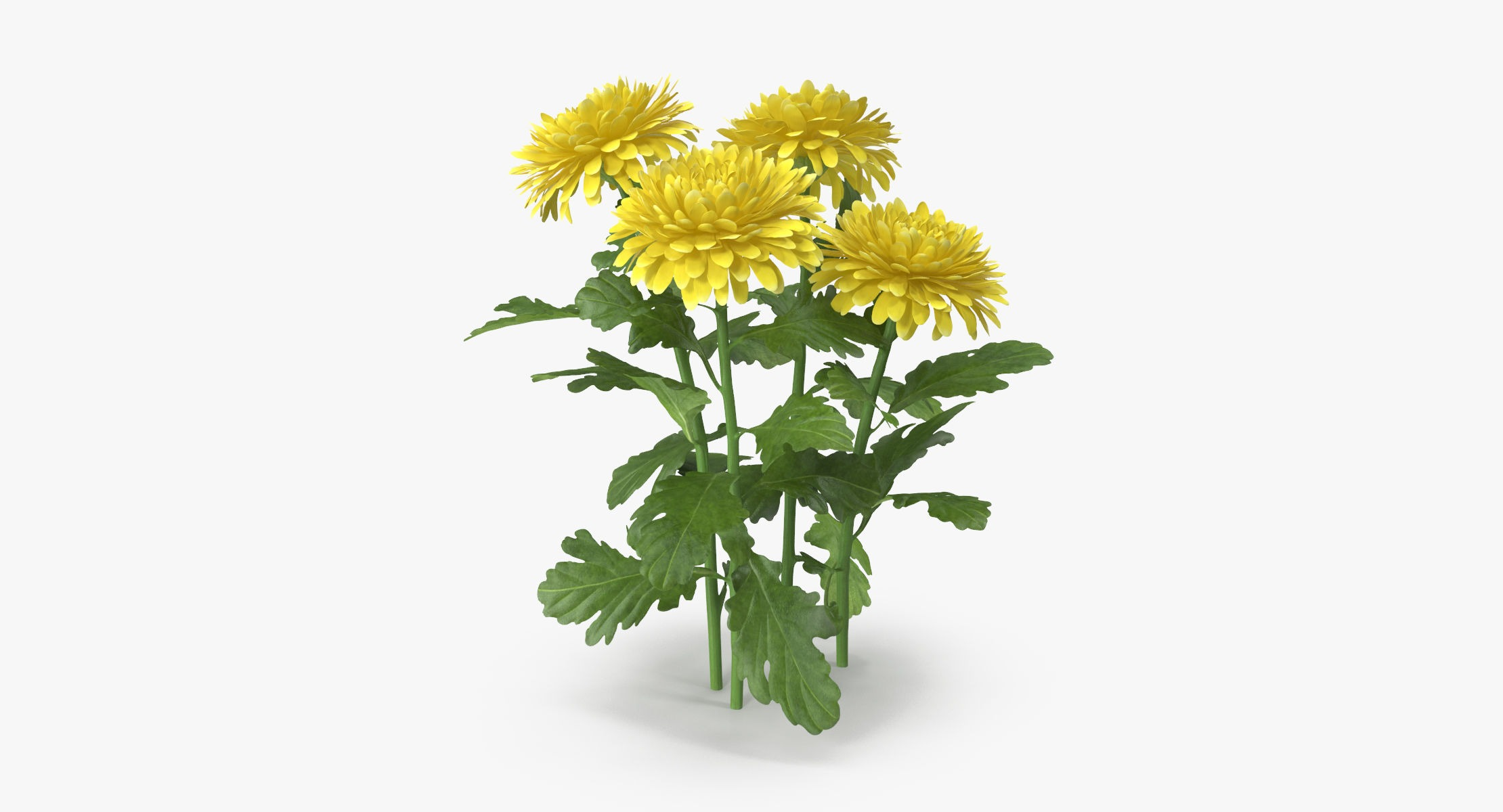 Chrysanthemum Yellow - Natural Group - reel 1