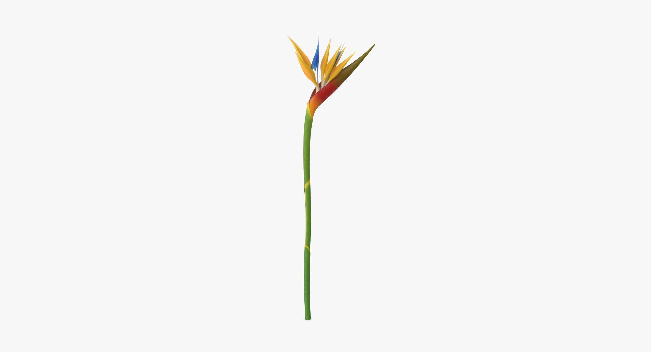 Bird of Paradise - Single Standing - reel 1