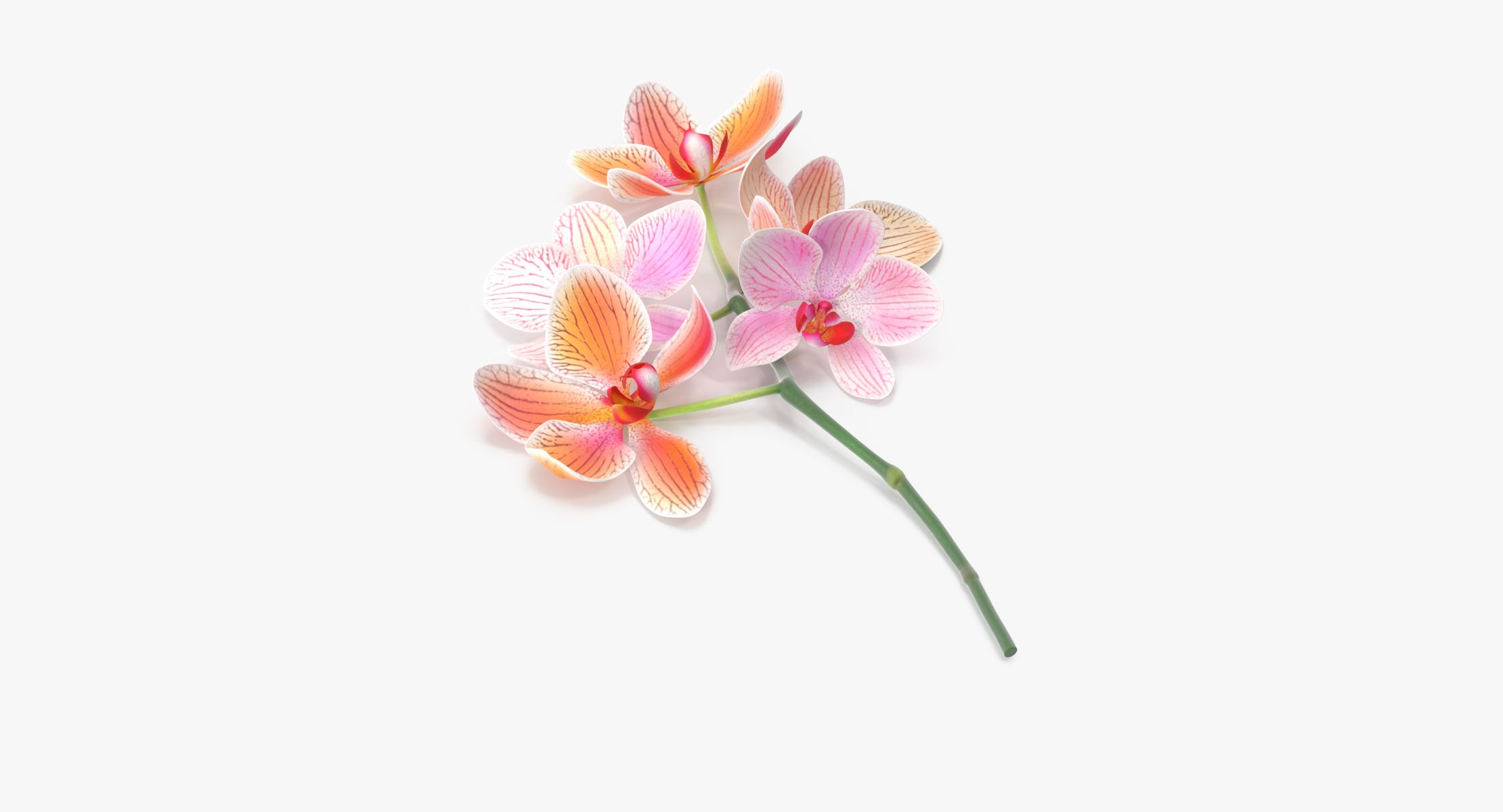 Orchid - Single Laying - reel 1
