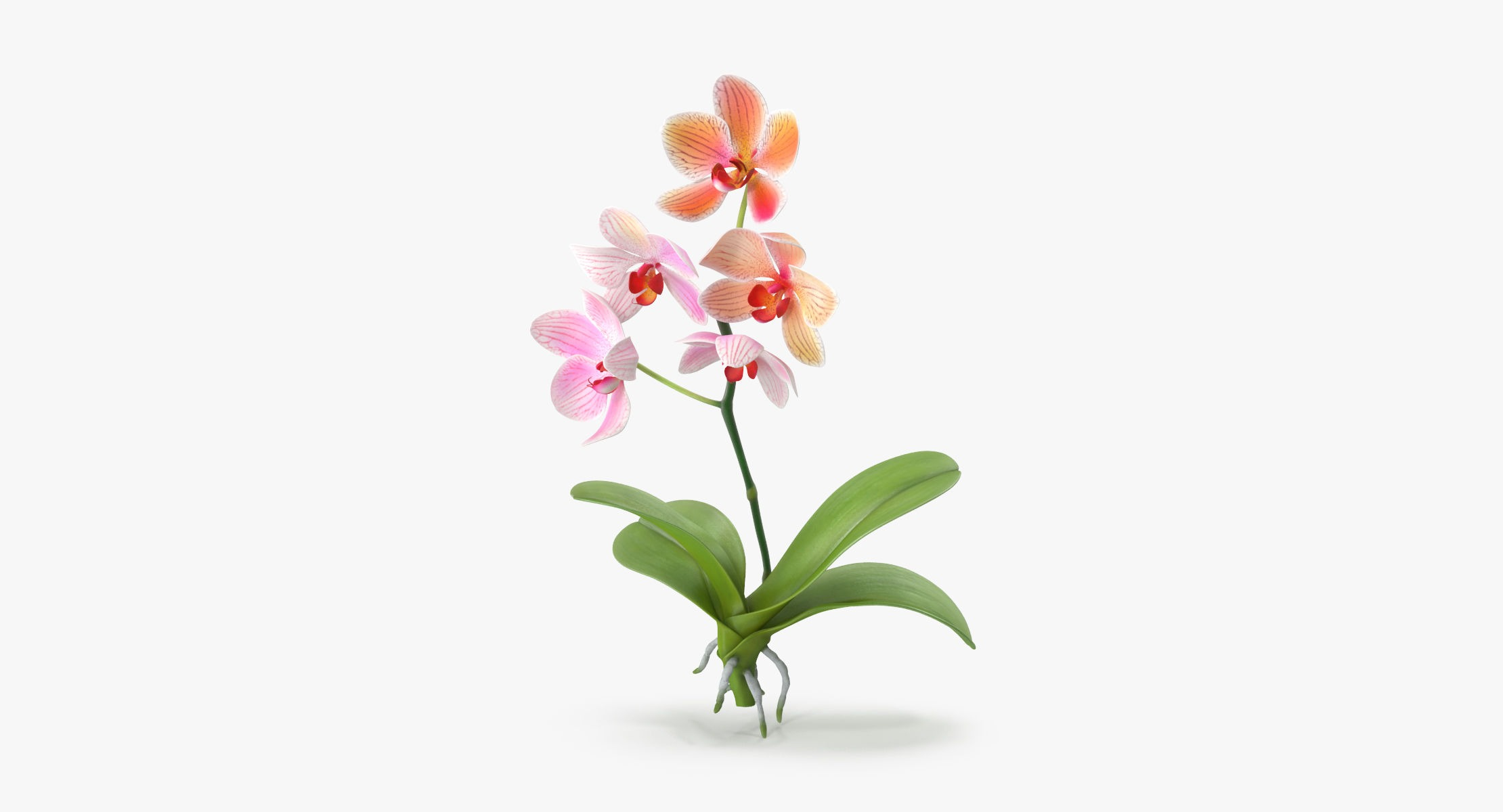 Orchid - Single Standing - reel 1