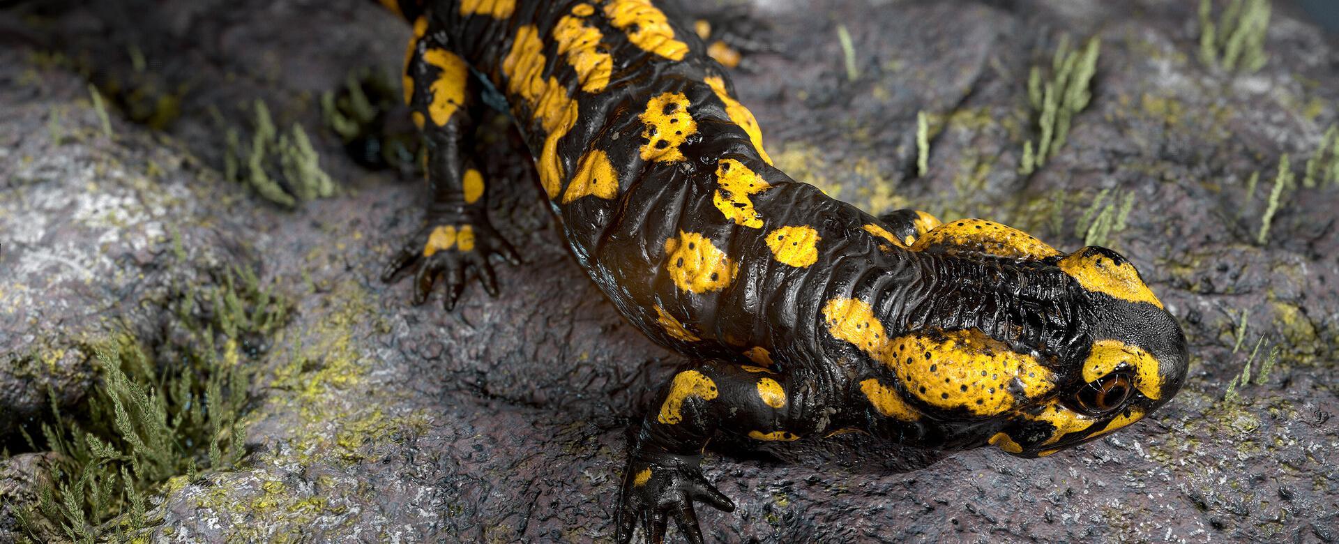 Fire Salamander by Todor Kolev